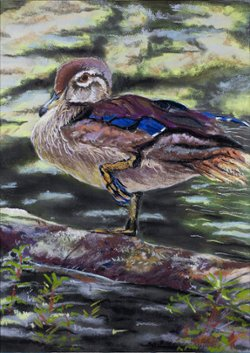 "Duck In Water 9 1/2"" x 11"" Pastel Print"